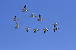 Greater Snow Geese in Flight