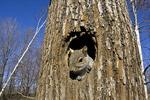 Eastern Gray Squirrel at Den Tree