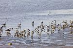Gulls and Shorebirds Feeding on Horseshoe Crab Eggs