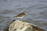 Least Sandpiper