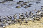 Semipalmated Sandpiper Feeding on Horseshoe Crab Eggs