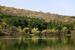 Bonoparte's Gulls on Shawnee Lake