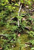 Tree Seedlings on Forest Floor