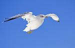 Ring-Billed Gull