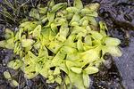 Common Butterwort