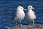 Pair of Herring Gulls