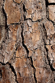 Lobolly Pine Bark