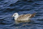 Herring Gull, Second Winter Juvenile