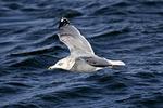 Herring Gull, adult