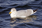 Herring Gull, adult