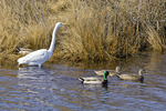 Great Egret and Mallard Duck