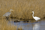 Great Blue Heron, Great Egret & American Black Duck