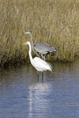 Great Blue Heron and Great Egret