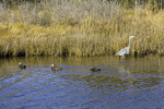 Great Blue Heron and American Black Ducks