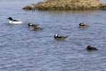 Hooded and Common Mergansers