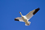Greater Snow Goose