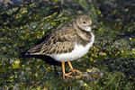 Ruddy Turnstone in Nonbreeding Plumage
