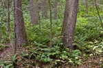 Snyder-Middleswarth Old Growth Forest