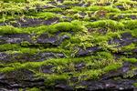 Moss & Lichen on a Fallen Old Growth Hemlock
