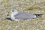 Ring-billed Gull at Rest