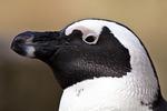 African or Jackass Penguin