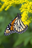 Monarch Butterfly Feeding on Goldenrod