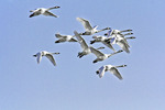 Tundra Swans in Migration