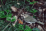 Ovenbird at Nest