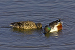 Northern Shoveler Pair Feeding