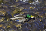 Mallard Duck Walking on the Backs of Common Carp
