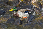 Mallard Duck Walking on the Backs of Common Carp