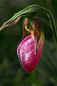 Pink Lady's Slipper, Moccasin Flower