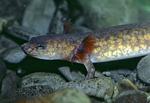 Spotted Salamander, larva