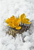 Crocus in Late Spring Snow