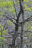 Old Growth Deciduous Forest