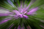 Garden Phlox Abstract