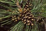 Mature Loblolly Pine Cone