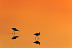 American Avocet at Sunset
