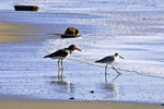American Oystercatcher and Willet