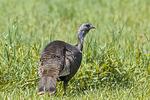 Wild Hen Turkey