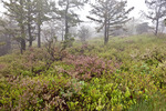 Pitch Pine Scrub Oak Heath Barren