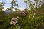 Camelback Mountain Heath Barren