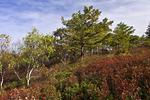 Scrub Oak/Pitch Pine Heath Barren