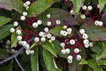 Red-panicle Dogwood