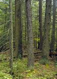 Eastern Hemlock/Red Spruce Forest