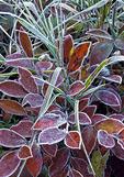 Frost on Highbush Blueberry Leaves