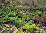 Skunk Cabbage and May-Apple emerging in spring