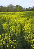Field mustard or rapa
