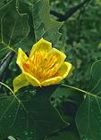 Tulip-tree Flower