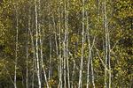 Gray Birch Trees